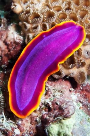 Platelminto da classe Turbellaria. Foto: C.K.Ma / Shutterstock.com