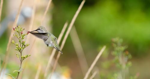 Beija-flor buscando pólen em uma flor. Foto: Colloidial / Shutterstock.com