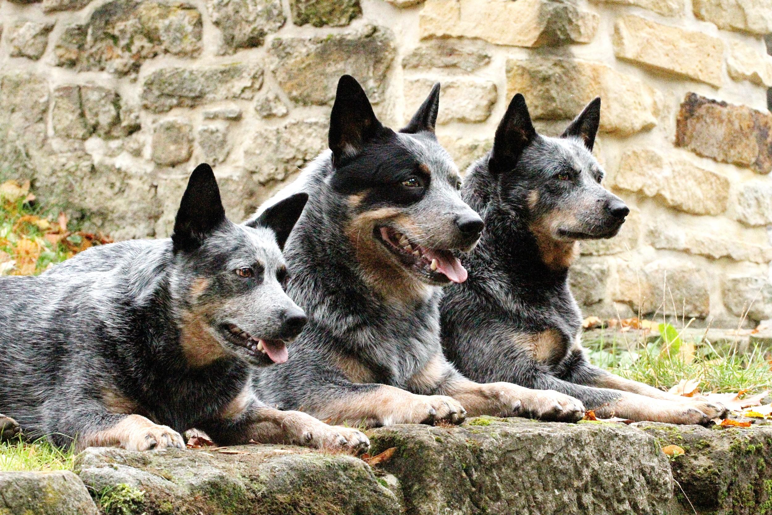 Excepcional Boiadeiro Australiano - Raças de Cães - InfoEscola VR92