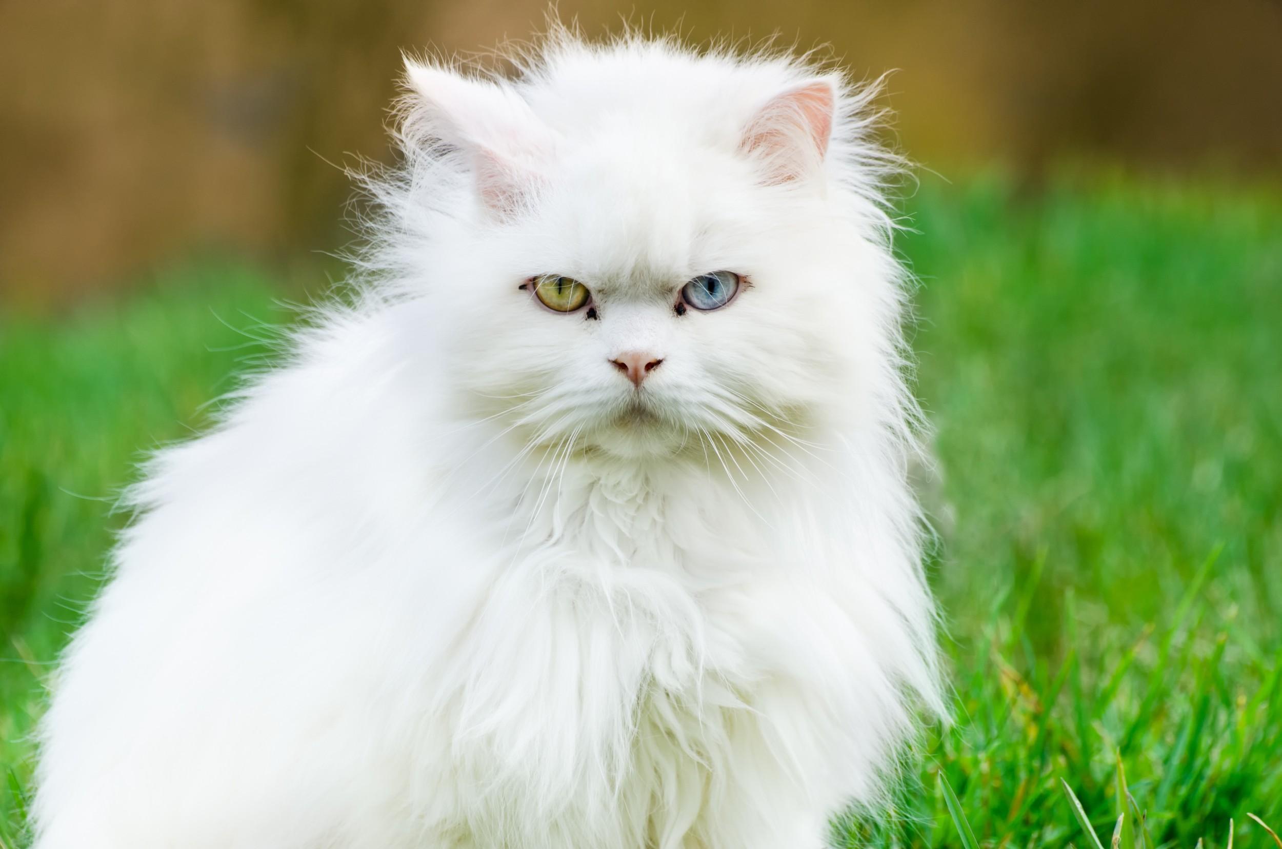 Gato Angorá Turco - Animais - InfoEscola