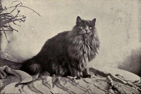"Gato Persa. Foto: Landor (""Cats and All About Them"" de Frances Simpson) [Public domain], via Wikimedia Commons"