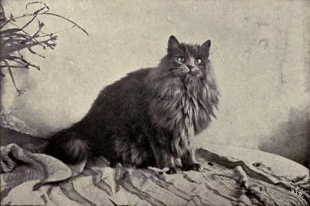 "Gato Persa. Foto: Landor (""Cats and All About Them"" de Frances Simpson) [Public domain], via Wikimedia Commons"