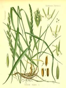 Família Poaceae