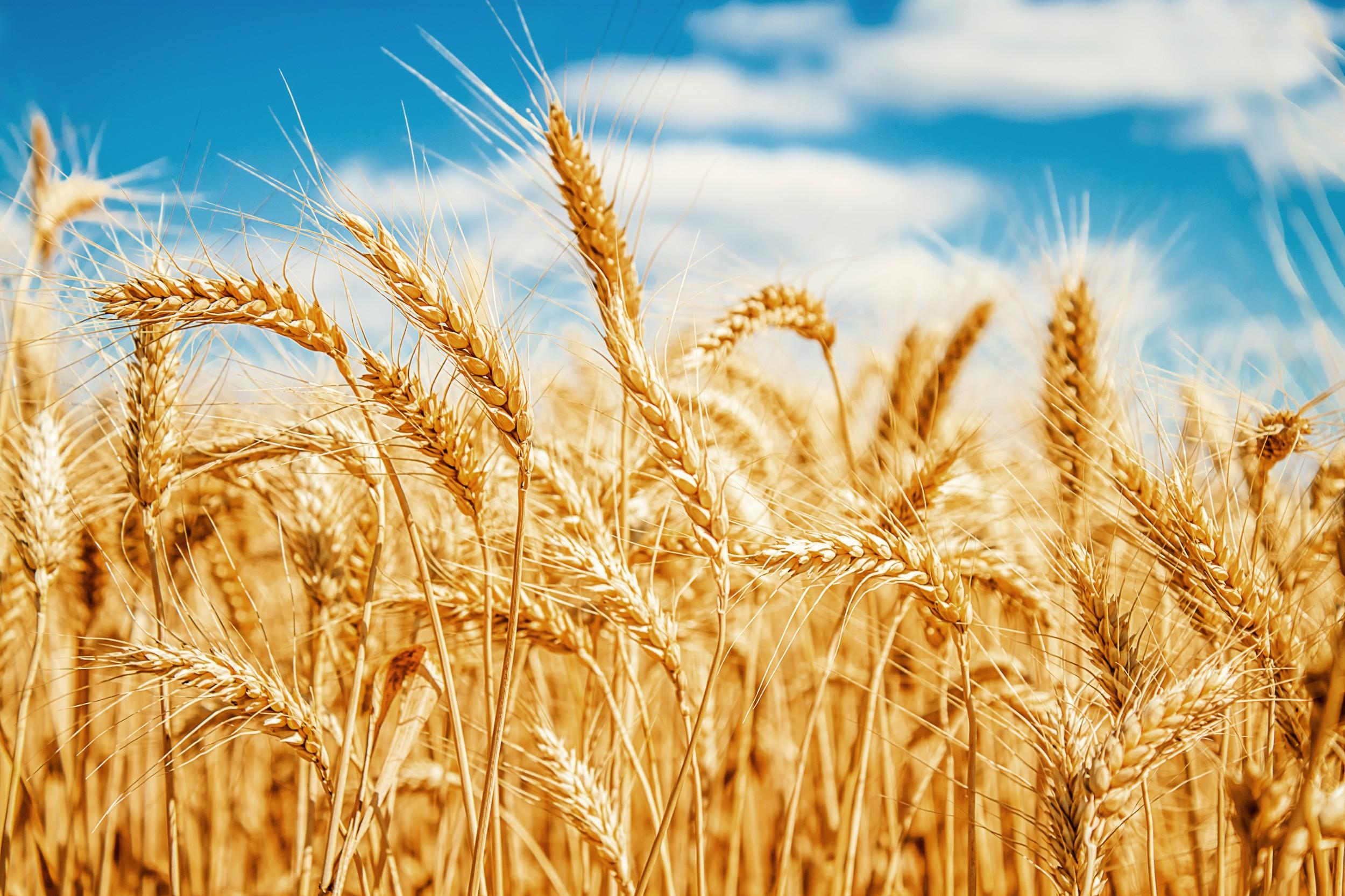 Resultado de imagem para plantio de trigo