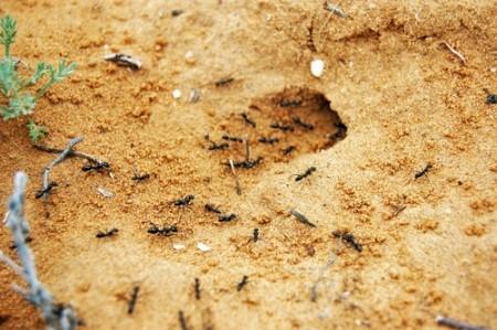 Entrada de um formigueiro. Foto: Alexander Prosvirov / Shutterstock.com