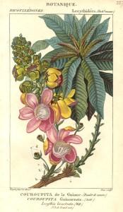 Lecythidaceae