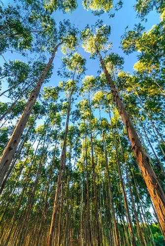 Floresta de Eucaliptos. Foto: Mingman / Shutterstock.com
