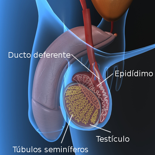 Anatomia do testículo. Ilustração: sciencepics / Shutterstock.com [adaptado]