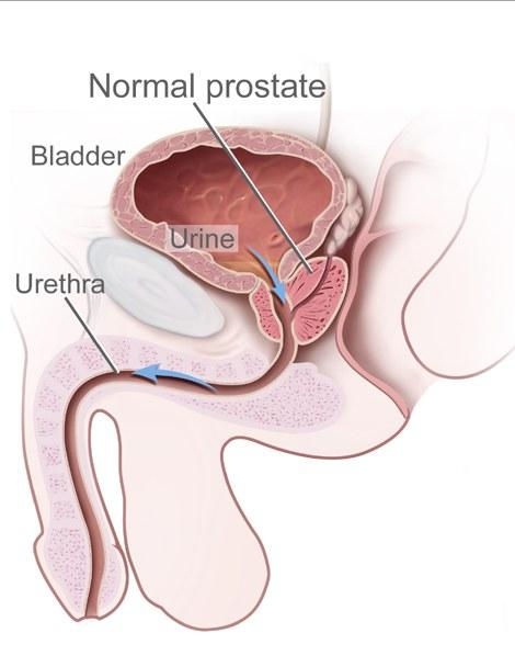 Próstata - Anatomia - InfoEscola