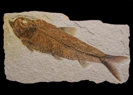Fóssil de um peixe. Foto: Dinoton / Shutterstock.com