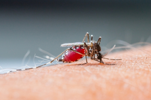 Mosquito Anopheles. Foto: smuay / Shutterstock.com