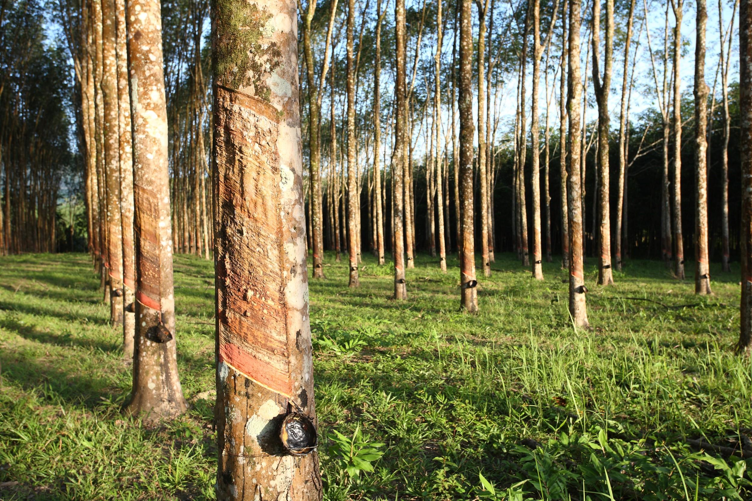 Seringueira - árvore brasileira - InfoEscola