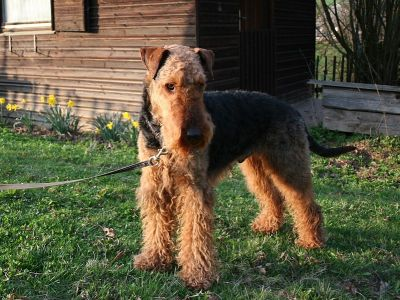 Airedale Terrier. Foto: Musarati (Own work) [Public domain], via Wikimedia Commons