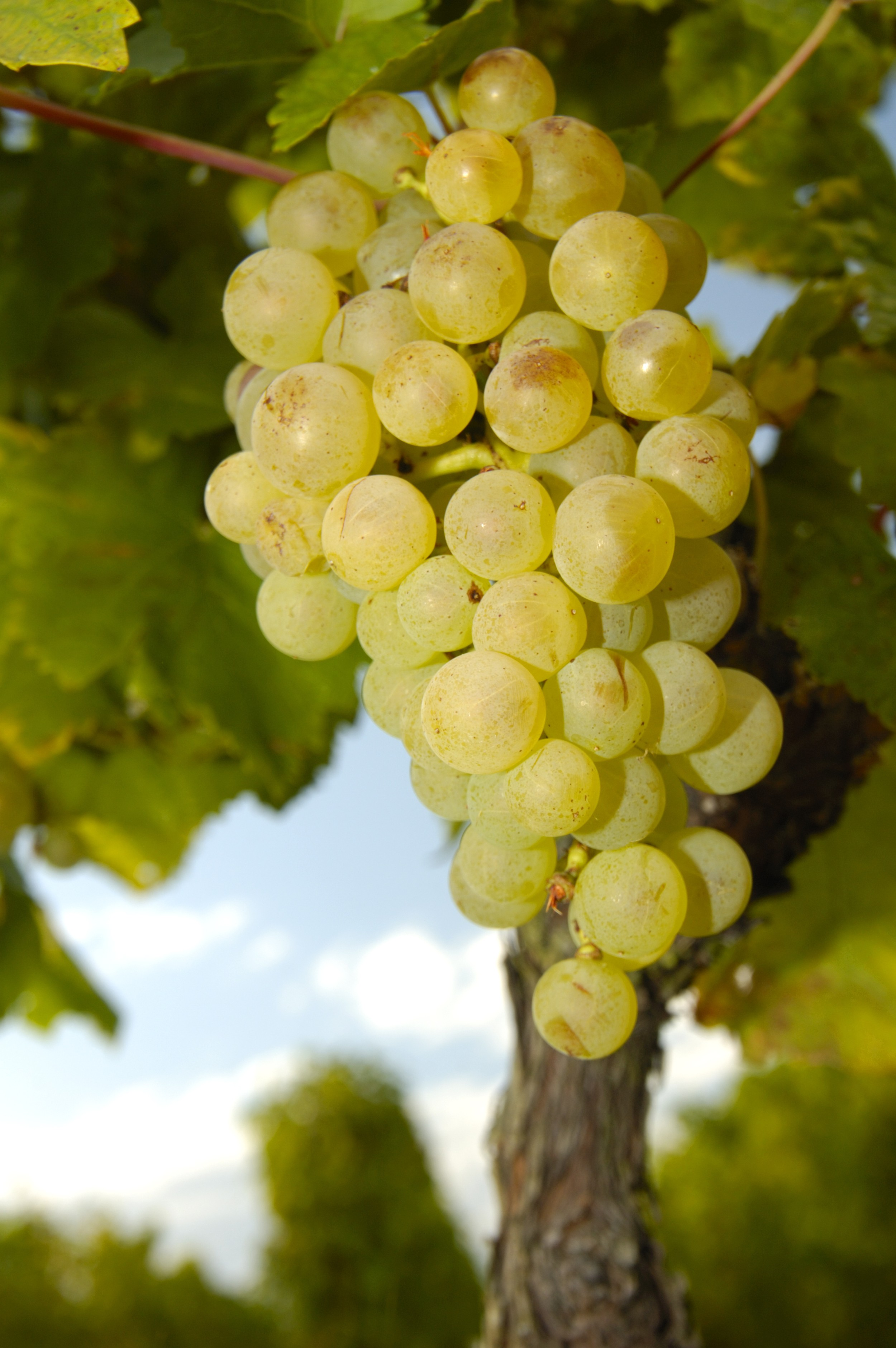 tipos de uvas variedades infoescola