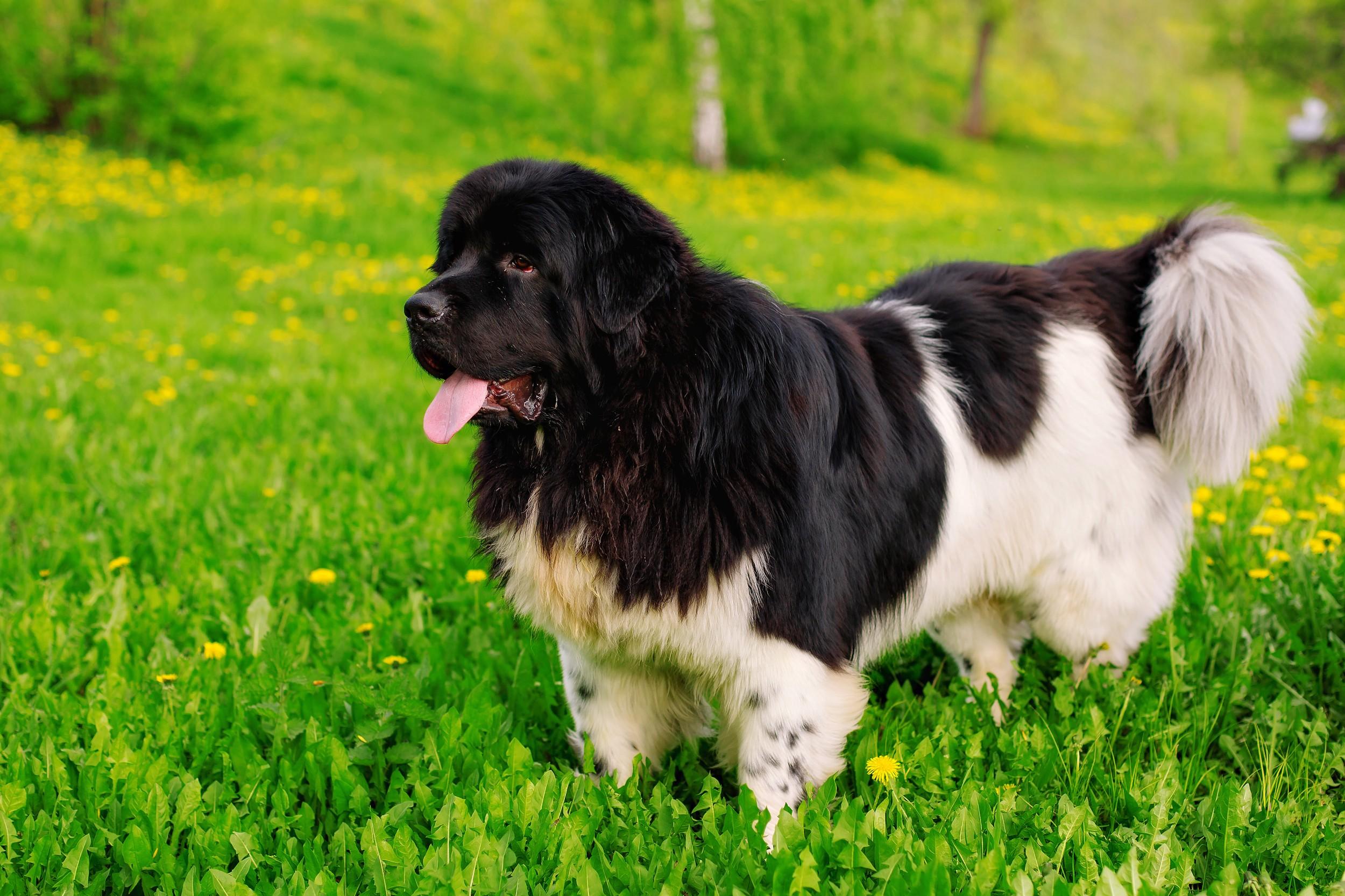 Terranova Raça de Cães InfoEscola