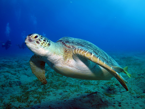 Tartaruga verde. Foto: LauraD / Shutterstock.com