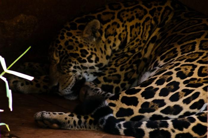 Onça Pintada - Panthera onca Foto: Bruno Corrêa Barbosa