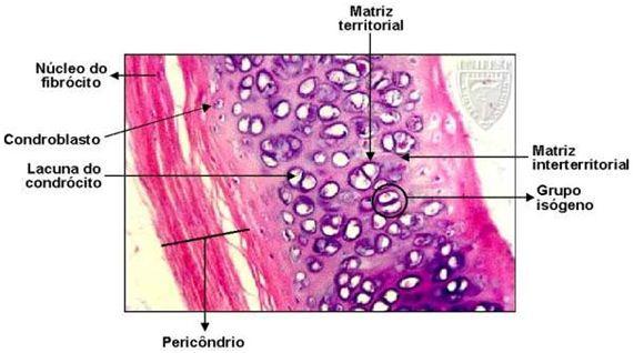condroblastos
