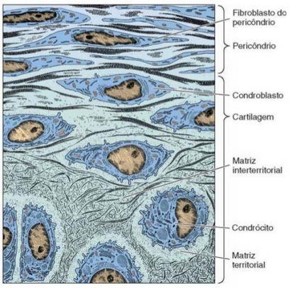 condroblastos2