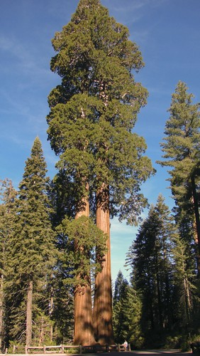 Sequoias. Foto: Mighty Sequoia Studio / Shutterstock.com