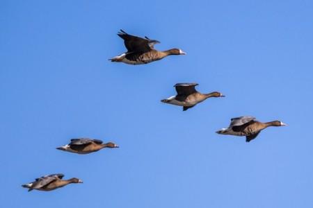 Aves migratórias (Ganso-do-canadá). Foto: CreativeNature.nl / Shutterstock.com