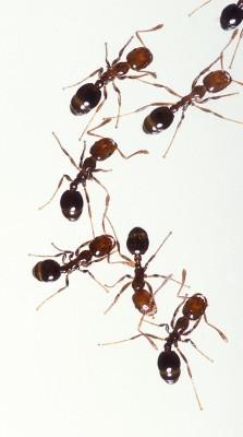 Formigas do gênero Solenopsis. Foto: USDA / Stephen Ausmus