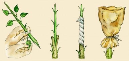 Método de enxertia. Ilustração: Natvas / Shutterstock.com