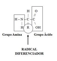 Estrutura básica de um aminoácido (aa).