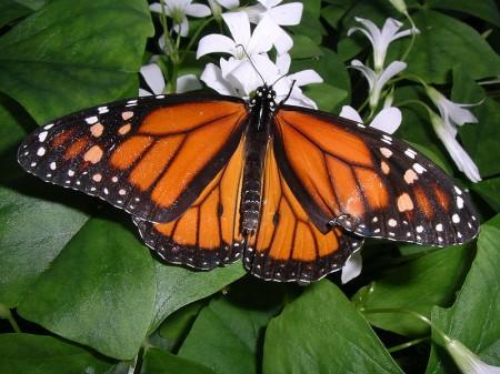 Coloração de aviso em uma espécie de borboleta. (Foto: Inzilbeth / Wikimedia)