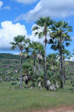 Carnaúba. Foto: Pedro Helder Pinheiro / Shutterstock.com