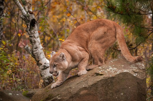 Onça parda (Puma concolor). Foto: Holly Kuchera / Shutterstock.com