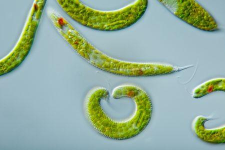 Alga verde da espécie Euglena spirogyra. Observe a presença de cloroplastos, que conferem a coloração esverdeada à alga. Clique para ampliar. Foto: Lebendkulturen.de / Shutterstock.com