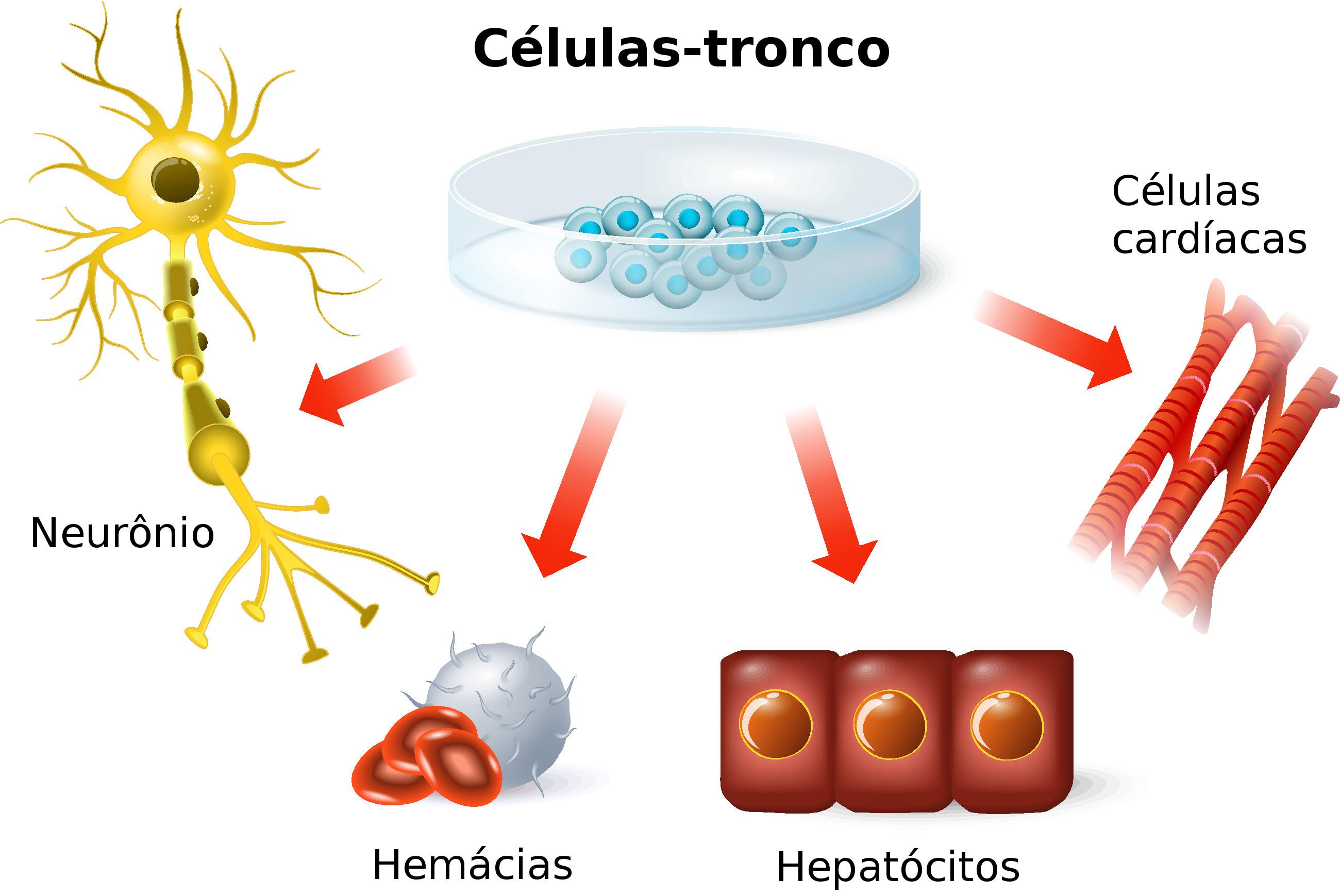Resultado de imagem para células tronco