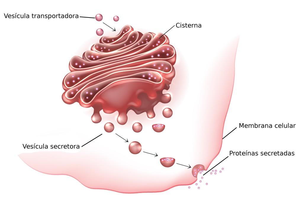 Estruturas do Complexo de Golgi. Ilustração: Tefi / Shutterstock.com [adaptado]