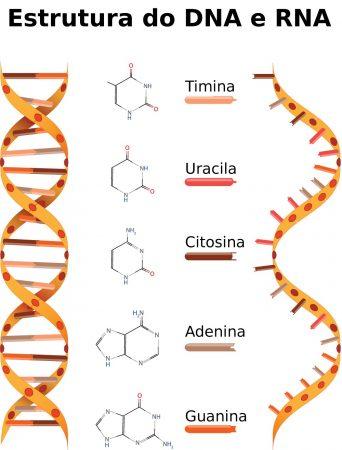 Estruturas do DNA e RNA. Ilustração: Designua / Shutterstock.com