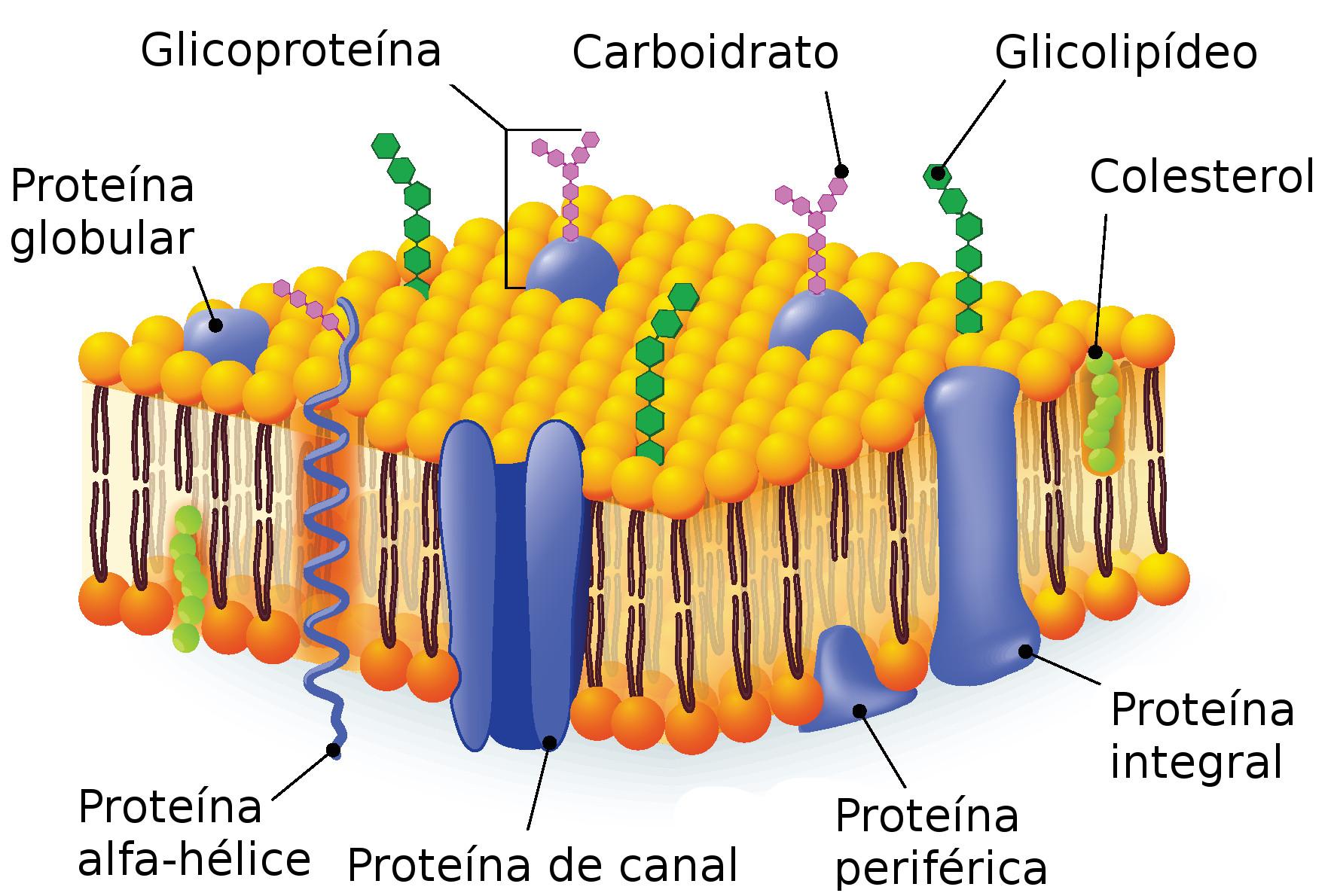 Estrutura da membrana plasmática. Ilustração: Designua / Shutterstock.com [adaptado]