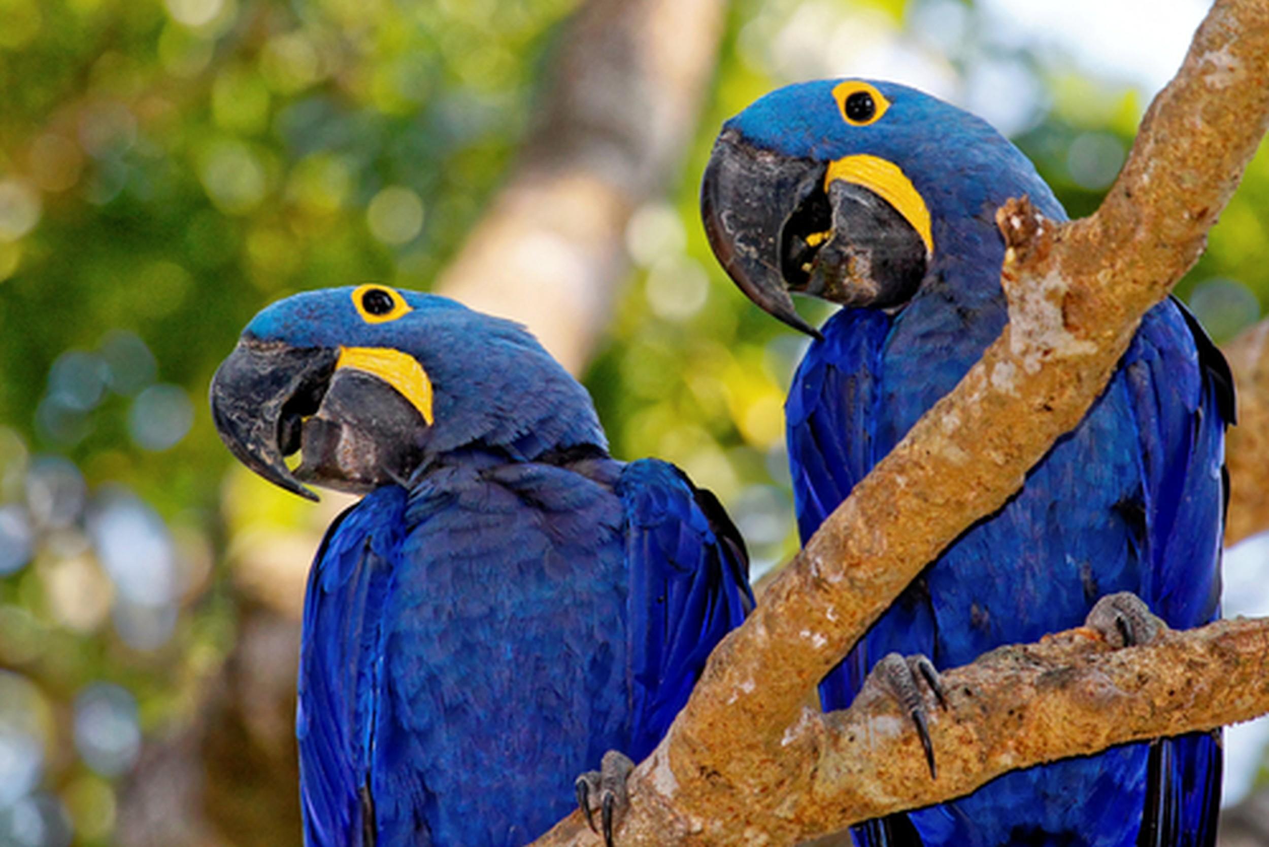 Excepcional Arara-azul - Aves - InfoEscola XP45