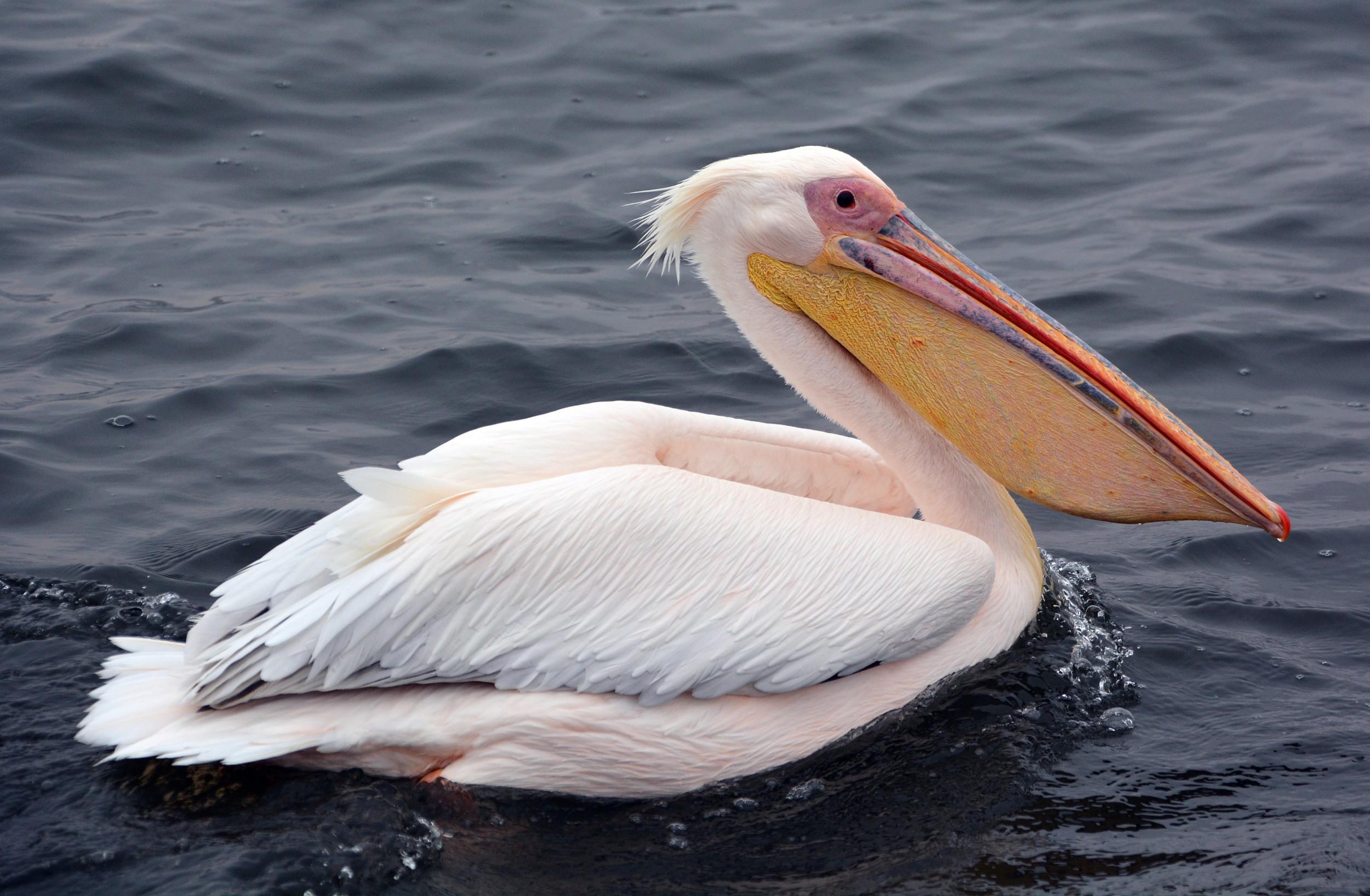O Pelicano Distribuidora Pelicano - Espéci...