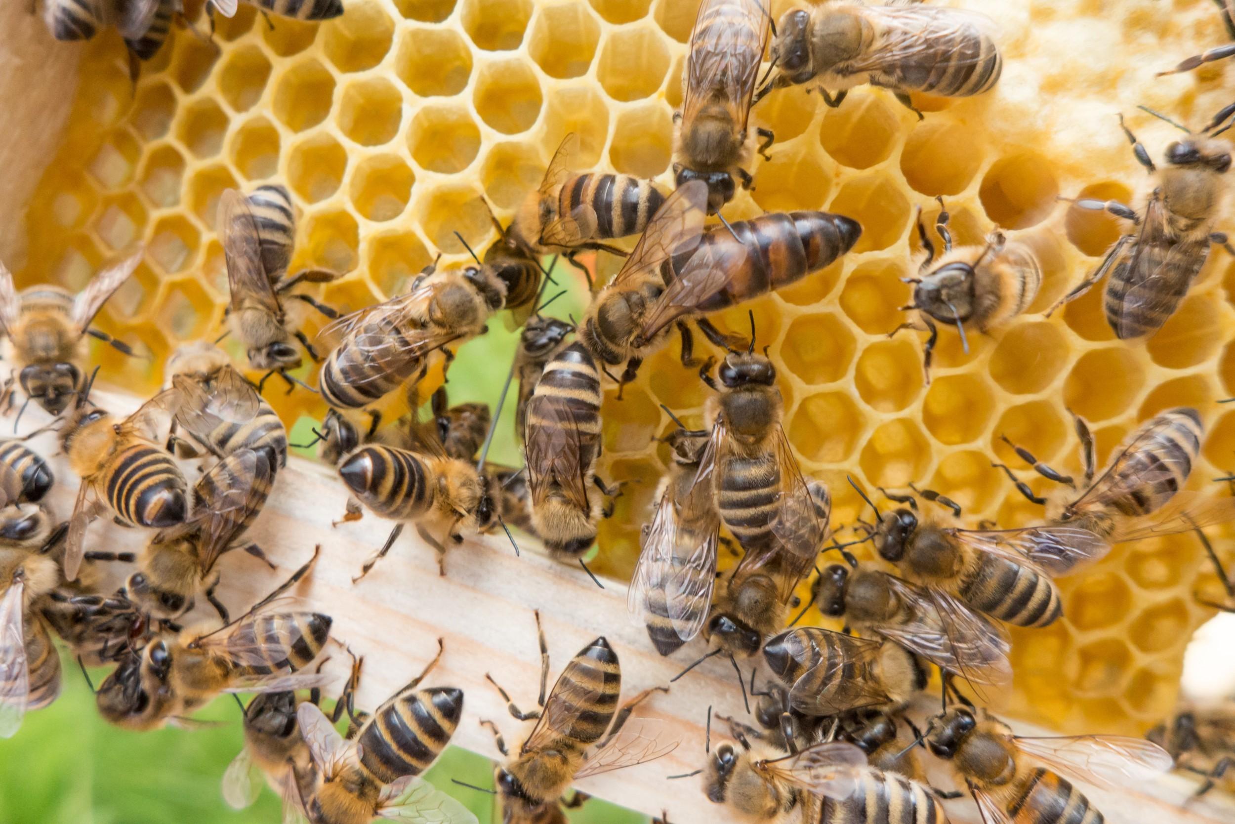Abelha - rainha, zangão e operárias - tipos de abelhas e