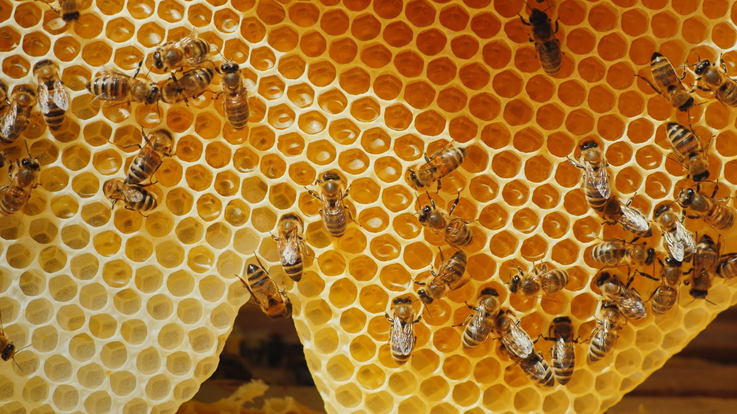 Abelha - rainha, zangão e operárias - tipos de abelhas e ...