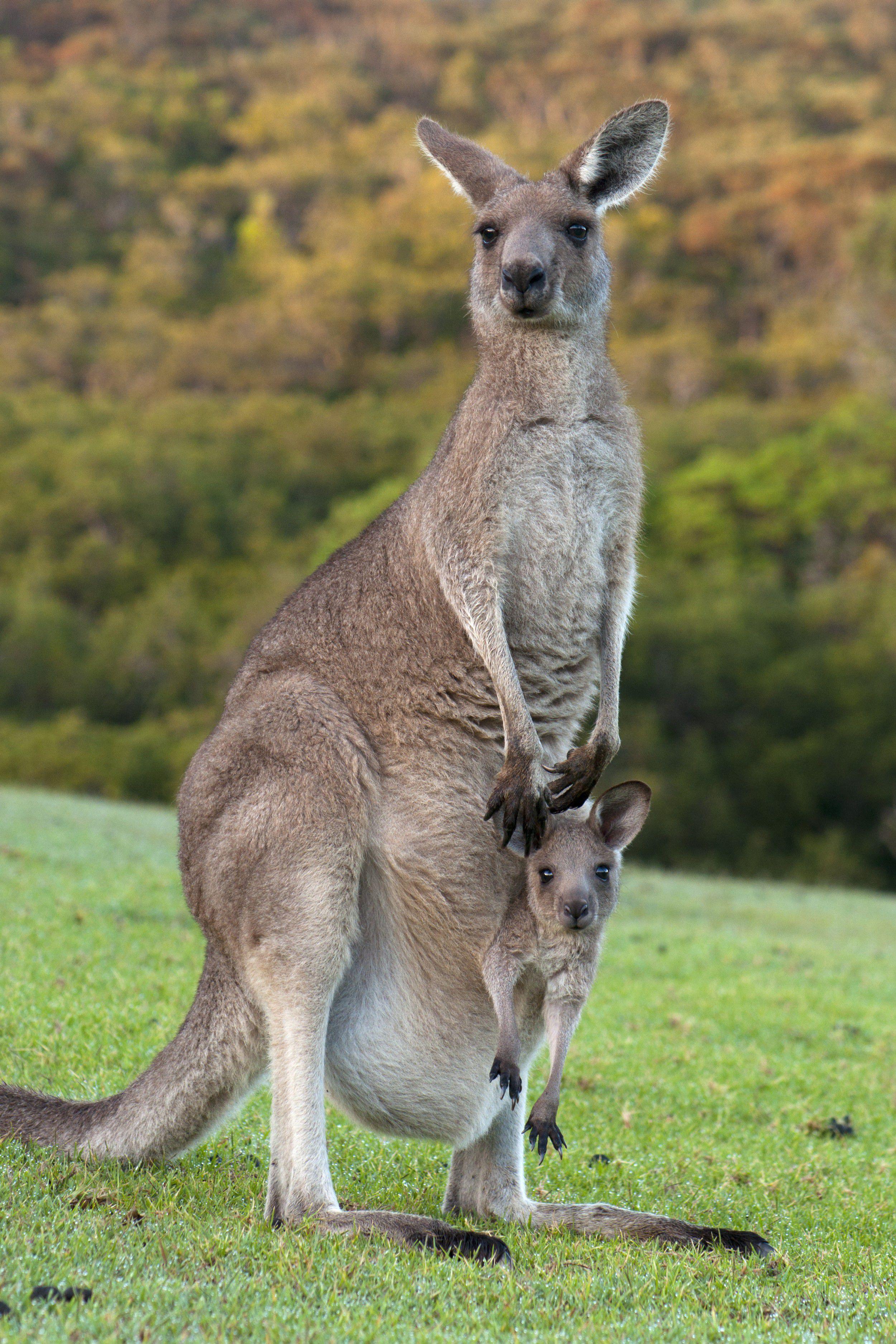 marsupiais animais biologia infoescola