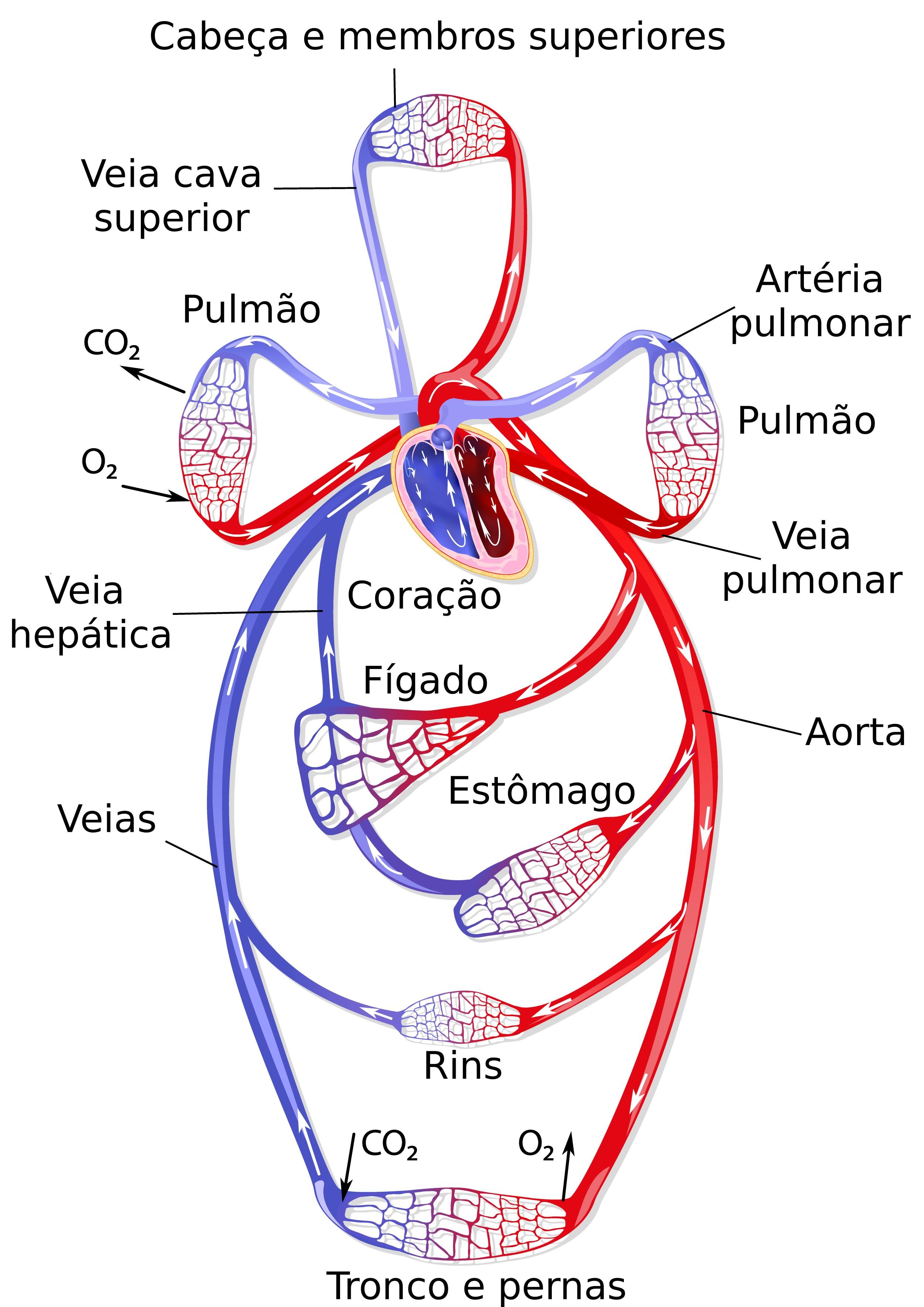 Circuito Sanguineo : Sistema circulatório fechado anatomia animal infoescola
