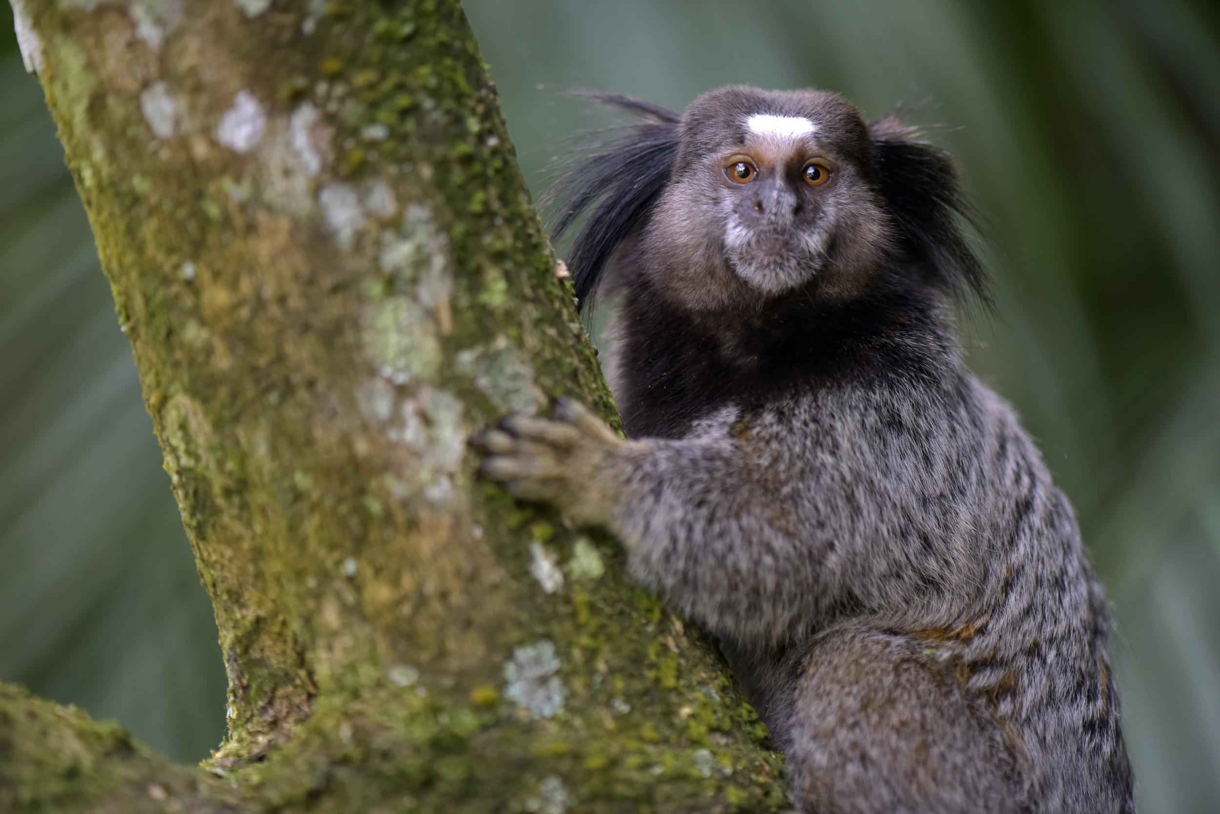 sagui espécie de macaco animais infoescola