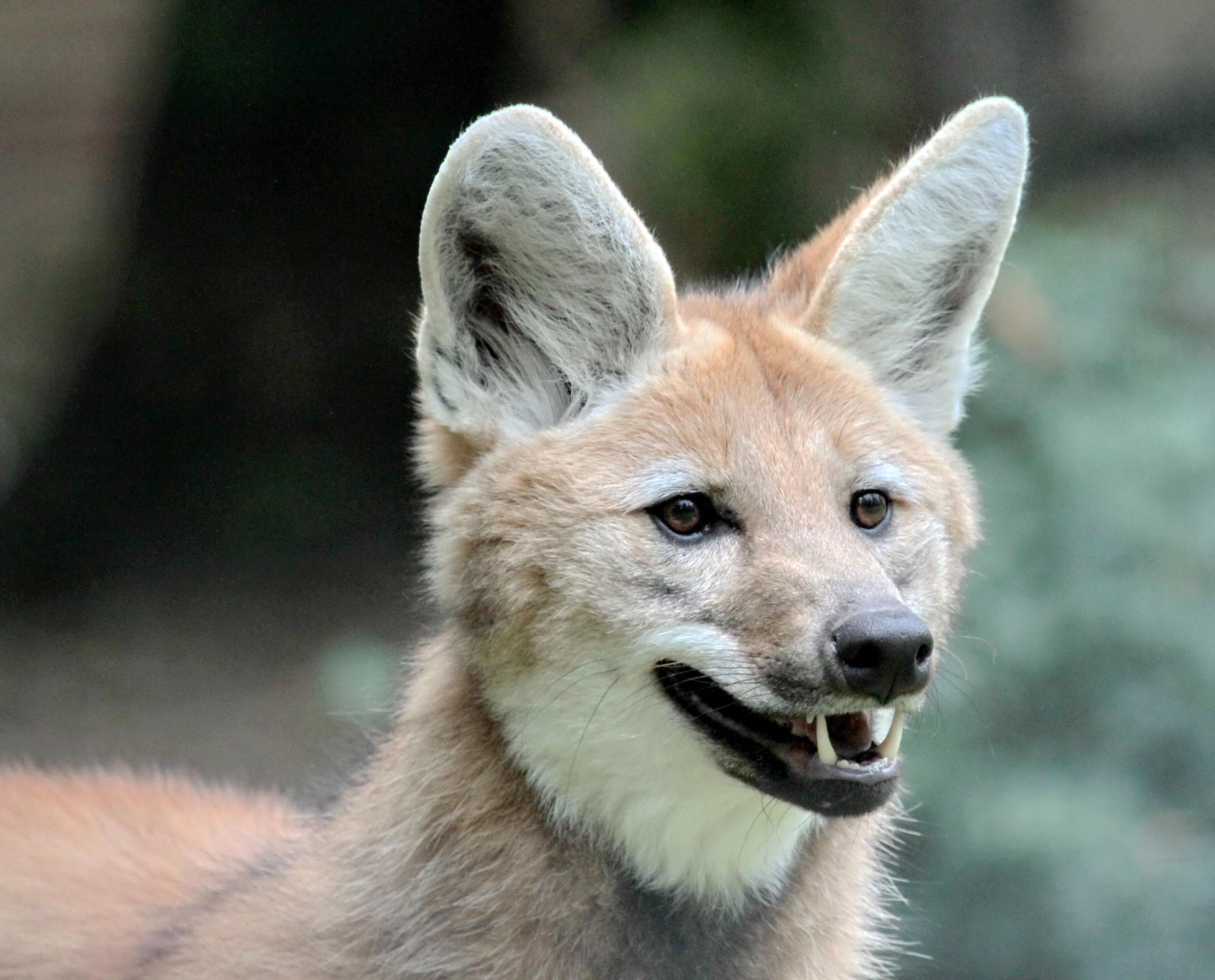 Lobo-guará - características, alimentação, ameaças, fotos - InfoEscola