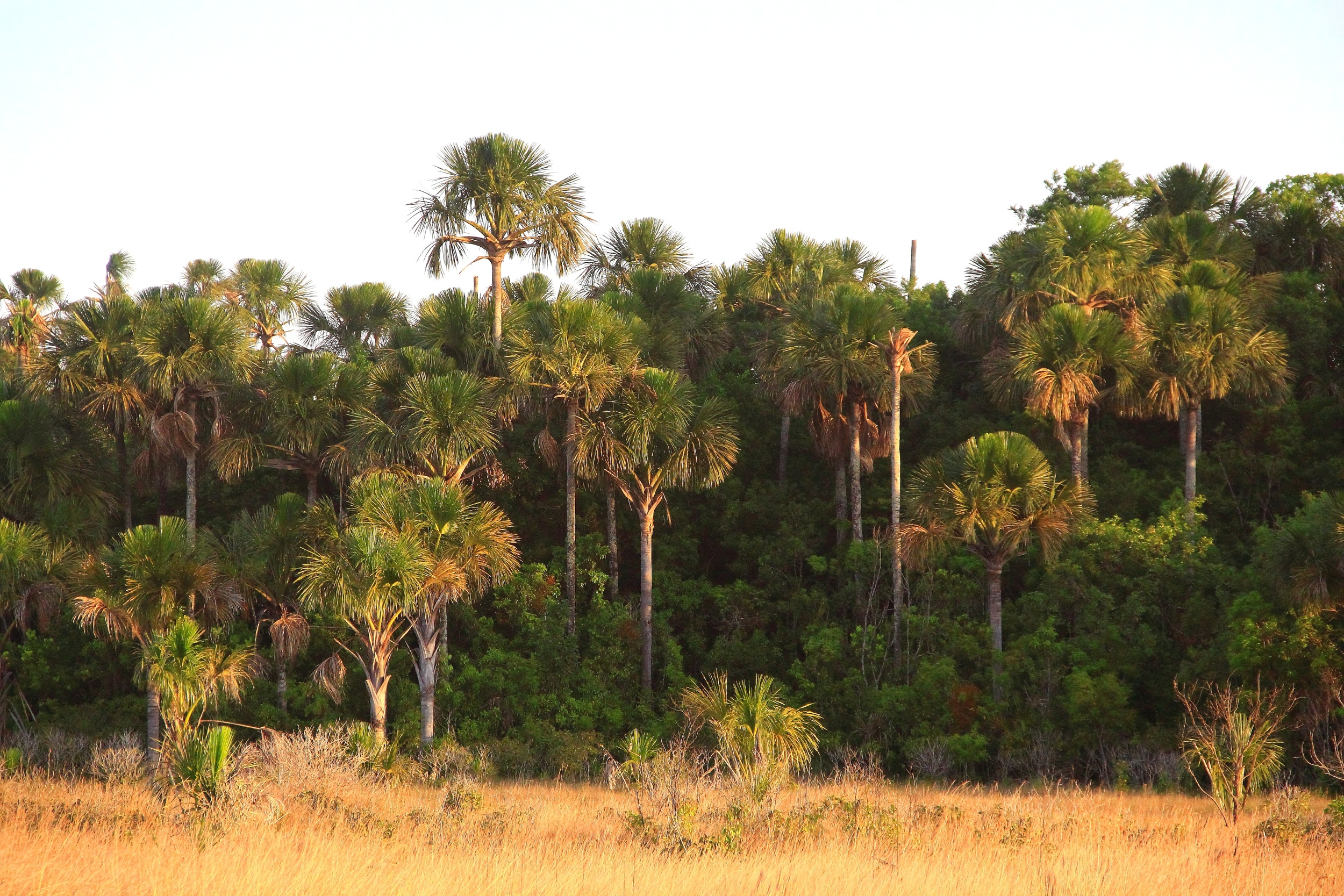 Buriti - Buritizeiro - Plantas - InfoEscola
